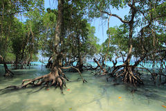 Beach mangrove trees. Big mangrove trees growing at the beaches in Havelock islands, Andaman Islands, India Royalty Free Stock Image