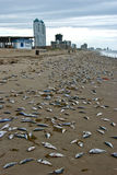 Beach with many dead fishes Royalty Free Stock Photo