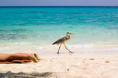 This beach is MINE!!!. A heron walking on the beach around legs of a sun bathing woman Stock Image