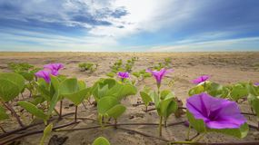 Beach morning glory on the beach on blue sky background in the morning Royalty Free Stock Photo