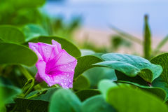 beach morning glory beside the beach Royalty Free Stock Images