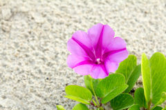 Beach Morning Glory Royalty Free Stock Image