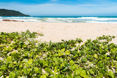 Beach morning glory, goat`s foot creeper royalty free stock images
