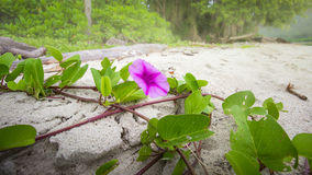 Beach morning glory. Ipomoea blooming on sand for background, ip. Omoea herb on sand beach, sandy beach, Summer concept asia Royalty Free Stock Photos
