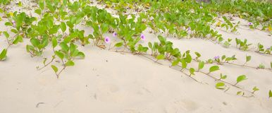Beach Morning Glory Royalty Free Stock Photos