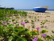 On the beach. Morning glory on the beach at Rayong province in Thailand Royalty Free Stock Photos