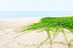 Beach Morning Glory Stock Photo