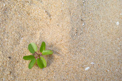 Beach morningglory herb Stock Images