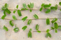 Beach morningglory herb Royalty Free Stock Photo