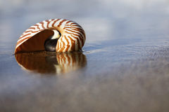 Beach Nautilus. Nautilus on the water's edge on sandy beach Royalty Free Stock Photography