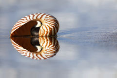 Beach Nautilus. Nautilus on the water's edge on sandy beach Stock Photo
