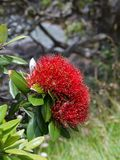 Beach: NZ christmas tree flower detail Stock Photography
