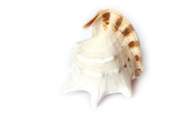Beach Object  Conch. Studio Photo Isolated Shell Stock Image