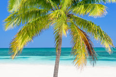 Beach with palm tree, Cayo Levisa, Cuba Stock Images