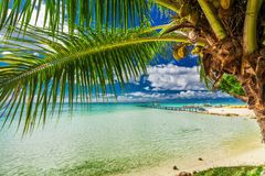 Beach with palm tree on the north side of tropical Moorea island. Beach with palm trees on the north side of tropical Moorea island, French Polynesia Stock Photos