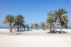 Beach with palm trees in Umm Al Quwain. Beautiful beach with palm trees in Umm Al Quwain. December 20, 2014 in Umm Al Quwain, UAE royalty free stock photo
