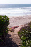 Beach Path. Path on the cliffs overlooking the beach and Pacific ocean beyond. Green shrubs, and pinkish flowere Royalty Free Stock Photography