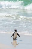 Beach Penguin. A jackass penguin on the surf Royalty Free Stock Image