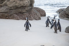 Beach of the penguins Stock Photos