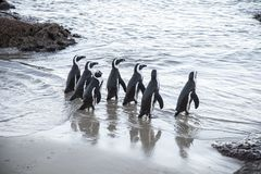 Beach of the penguins Stock Photography