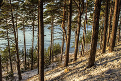 Beach pine forest in winter Stock Photography