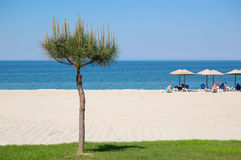 The beach with pine tree Stock Image