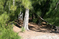 Beach and Pine Trees Stock Images