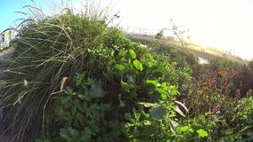 Beach plant life Cardiff California stock video footage