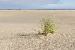 Beach with a plant marram grass. North Sea Beach with a plant marram grass on the island of Terschelling in the Netherlands Royalty Free Stock Photos