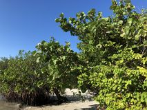 Tropical trees on the beach of an island. Beach plants and sea grapes in the waves Royalty Free Stock Photo