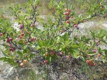 Prunus Marítima Plant. royalty free stock image