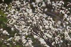 Beach plum tree in blossom. Beach plum tree Prunus maritima royalty free stock image