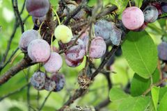 Beach Plums at Gardiners Bay New York Stock Images
