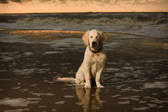 Beach portrait of Golden Retriever Puppy Royalty Free Stock Photography