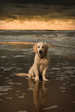 Beach portrait of Golden Retriever Puppy Stock Images