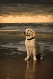 Beach portrait of Golden Retriever Puppy Royalty Free Stock Photos