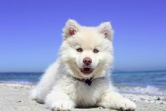 Beach, Puppy, Dog, Finnishlapphund Royalty Free Stock Photography