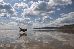 Beach Reflections with Dog. Stock Photography