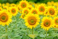 Flower Power to the Sun Royalty Free Stock Image