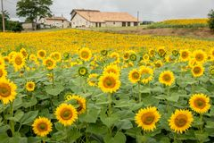 Beach river. Southern France sunflower fields are very popular all staring towards the southern sun rise royalty free stock images