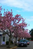 Cherry Tree lined Street in Qualicum Beach, BC Stock Images