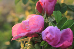 Beach Rose is in full bloom at dawn Royalty Free Stock Photo