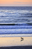 Beach Run. A silhouette of a dog running and playing on a sandy beach at sundown, with the waves rolling in on the coast in the background Stock Photography