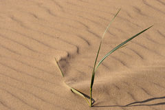 Beach sand. Lonely grass stem in a beach sand stock photos