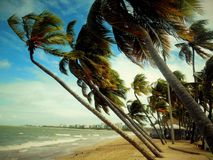 Coconut trees leaning towards the sea Royalty Free Stock Image
