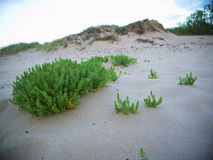 Beach with sand dunes. And a greengrass at the sea Royalty Free Stock Photography