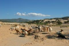 Beach of Sardinia. Kidskin in the sand desert of the seas of the Sardinia Royalty Free Stock Photo