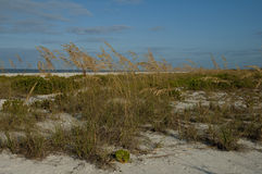 At the beach. Saw grass growing in the dunes at the beach Royalty Free Stock Image