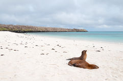 Beach scene with two Galapagos Sea-Lions Stock Images