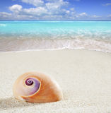 Beach sea snail tropical white sand closeup macro stock photography